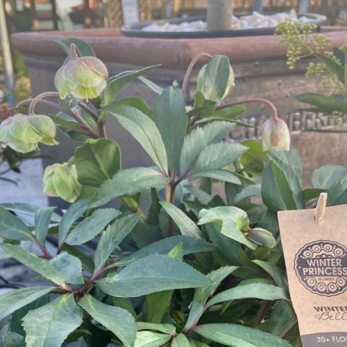 Plant of the Season: Hellebores - The Winter Flower